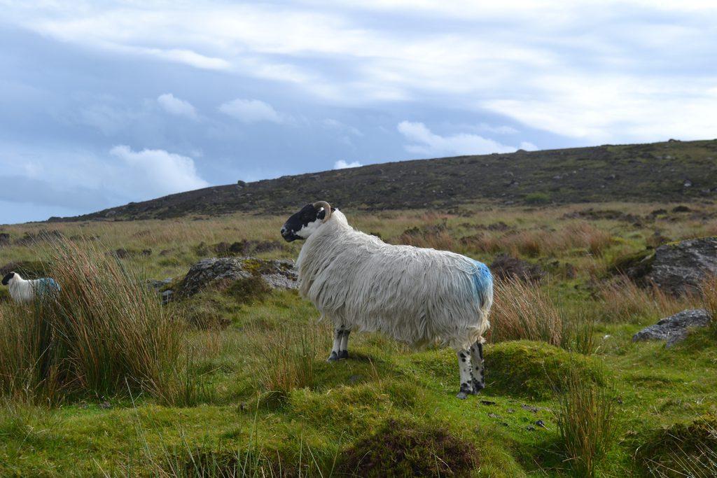 Special EU status sought for Comeragh Mountain Lamb