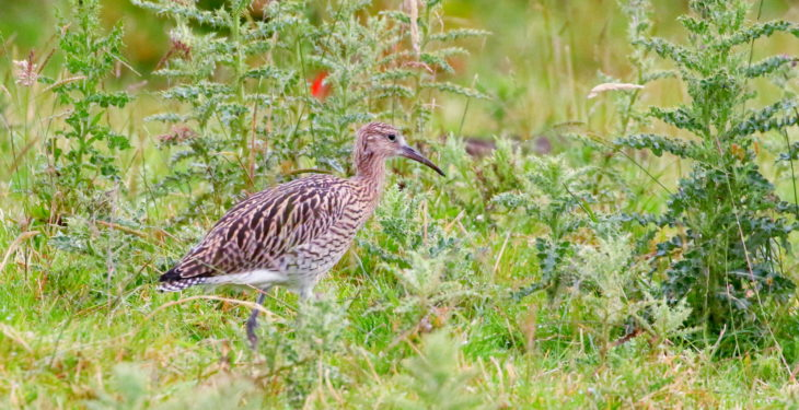 Under-threat curlews stage a comeback on Co. Antrim farm