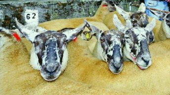 Anticipation building for 55th Borris Ewe Breeders' show and sale