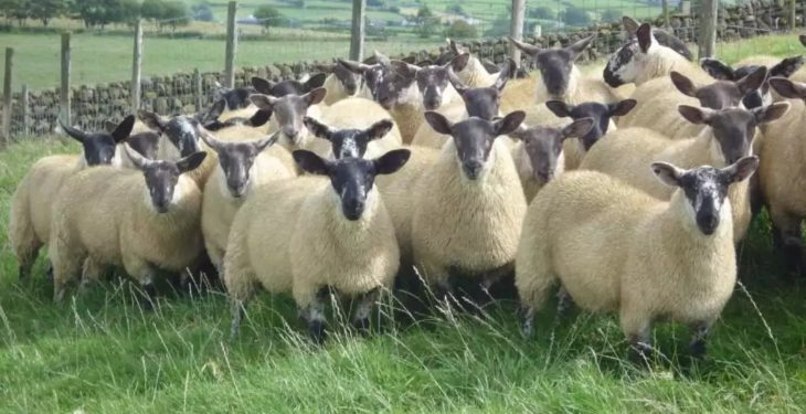 Looking to source the ideal replacements for your ewe flock?