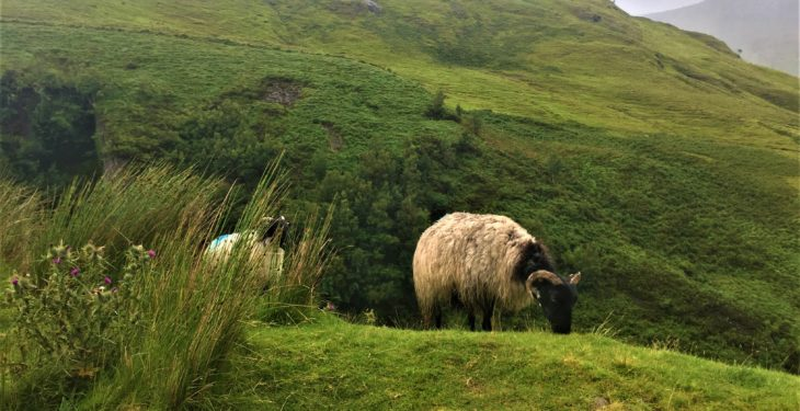 Why hill sheep farmers can't ignore the benefits of crossbreeding