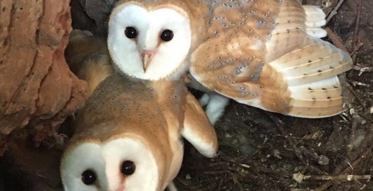 Co. Down farmer helps to rear barn owl chicks