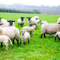 Sheep farmers should reject 'unrealistic' factory prices – IFA