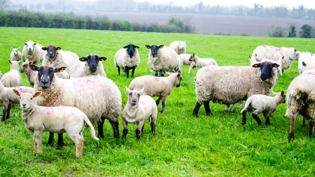 What are the factories paying for Easter lamb this year?