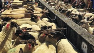 Ewe lambs reach €180 at this year's Tullow show and sale