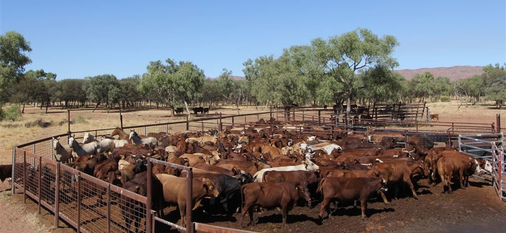 cattle, cattle station