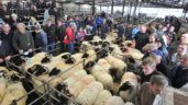 2,000 horned ram lambs wanted for export