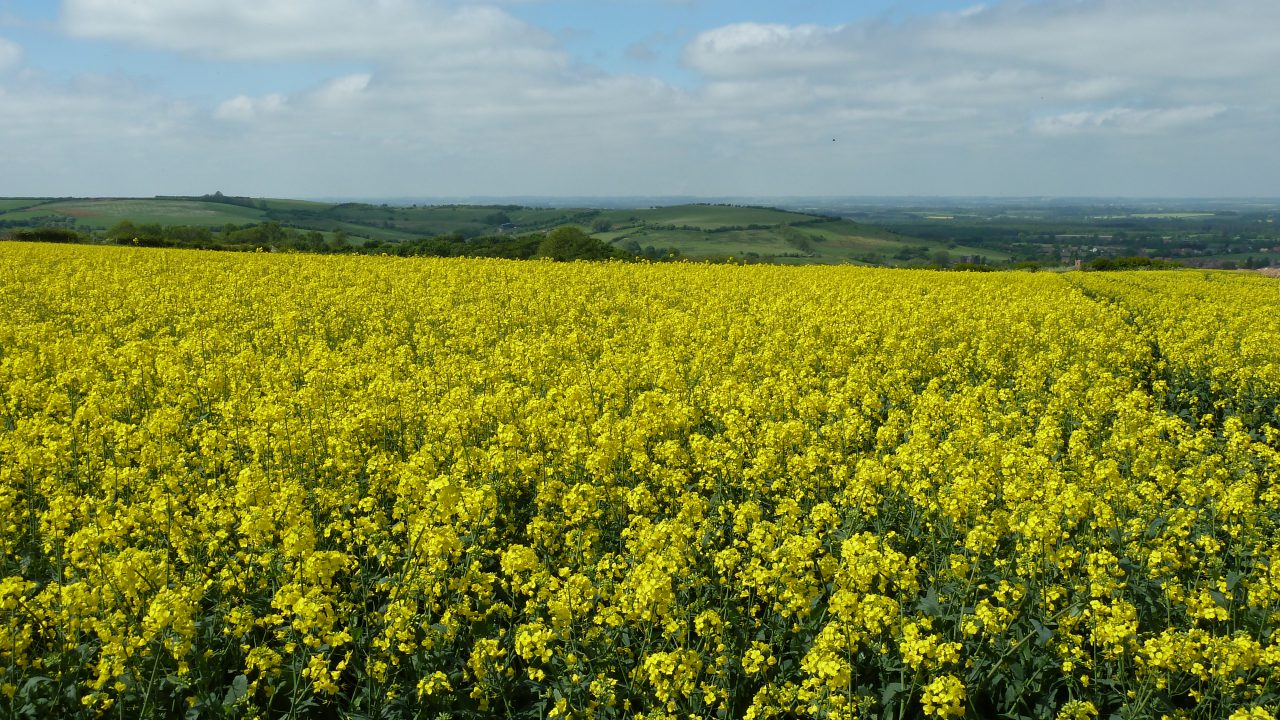 Winter OSR crops – time to check their GAI