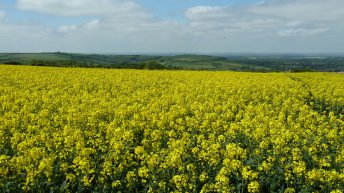 3 reasons why every tillage farmer should consider growing oilseed rape