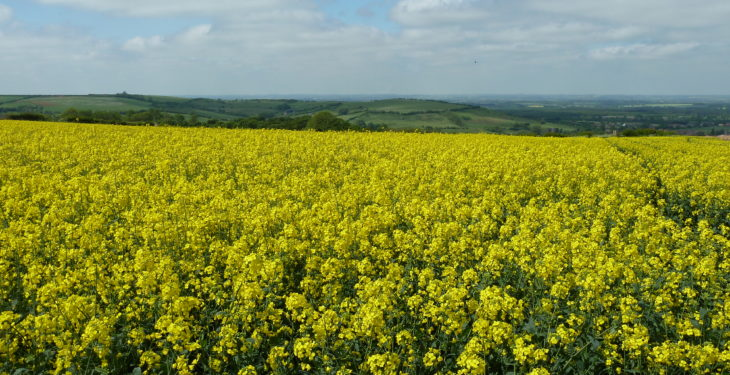 Spring oilseed rape variety options for 2018