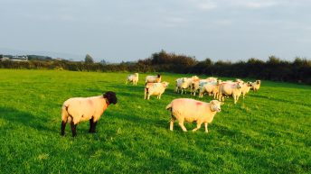 Sheep farmers will be 'wiped out' if prices are cut further – ICSA