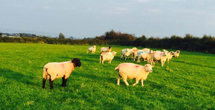 Deadline looming for Sheep Welfare Scheme forms