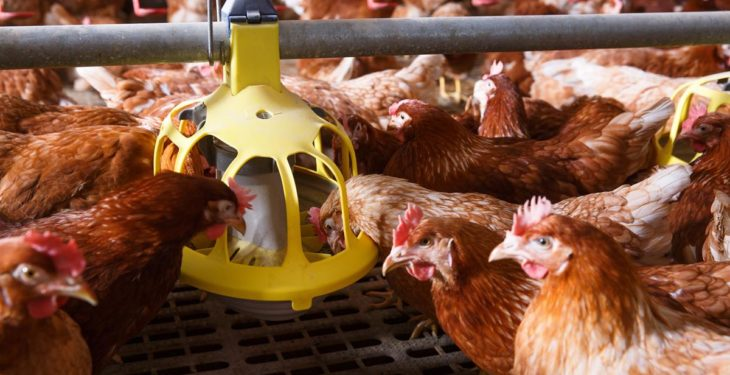 Tackling the poultry industry's €360 million red mite problem