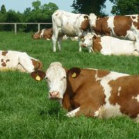 Solving fertility issues by making the switch to Montbeliarde breeding