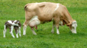Fleckvieh cows: An alternative for cross breeding?