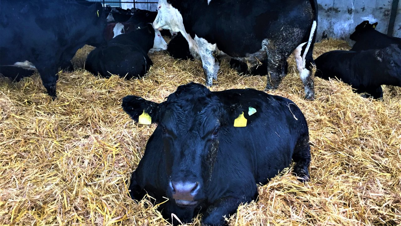 Video: Behind the scenes on ABP's dairy-beef farm