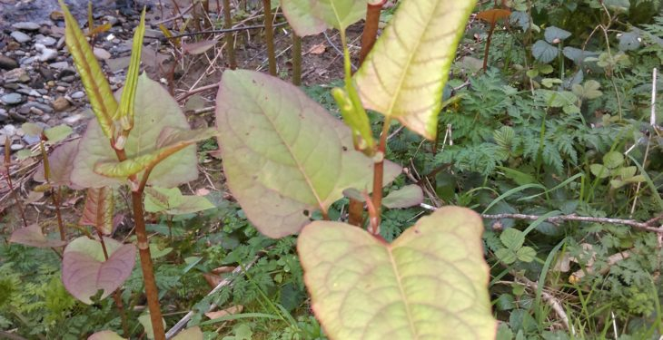 Hedges becoming 'overrun' with Japanese knotweed in areas