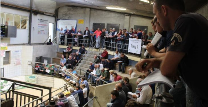 Suffolk ram comes out on top at Sheep Ireland's sale