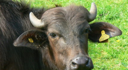 Macroom buffalo farmer to say 'ciao' in Aldi marquee at Ploughing