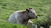 Compulsory BVD testing extends to older animals