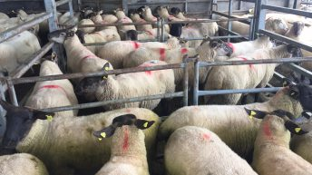 Sheep trade: 510c/kg top price as factories remain mute on quotes