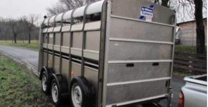 Video: Cattle attempt 'great escape' from trailer