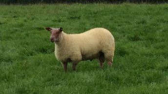 Should sheep farmers get a 'BEEP' of their own?