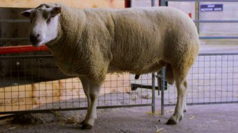 'Sheep genomic testing too important to let fall by the wayside'
