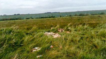 Video: UK dog walker finds butchered sheep dumped