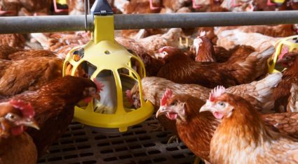MSD Animal Health launches innovative new Poultry Red Mite treatment