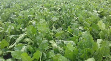 'Beet is the cheapest conserved forage to grow'