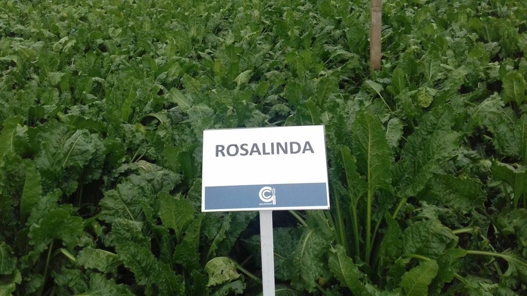 Beet Rosalinda
