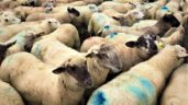 Sheep factories: Quotes unchanged as Ophelia takes its toll