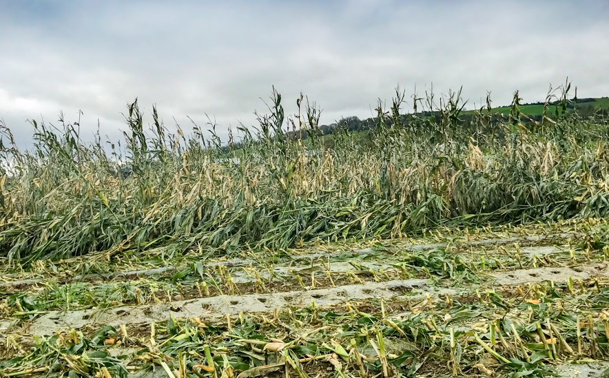 Storm-battered maize proving difficult to harvest