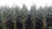 Is your maize ready to be harvested?