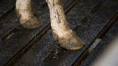 Department warns against footbathing cattle with antibiotics