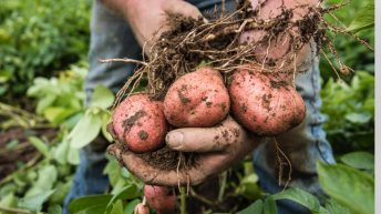 Potato conference will tackle challenges, markets and nutrition