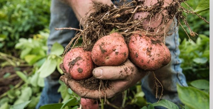 National Potato Picking Championships on this weekend