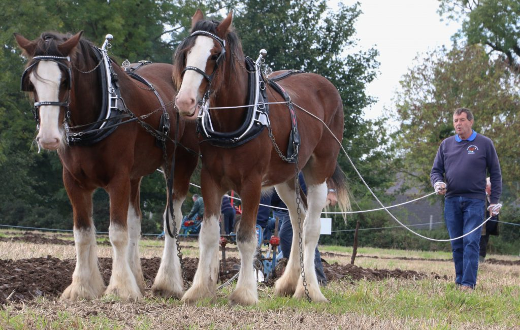 Ploughing with horses in Northern Ireland