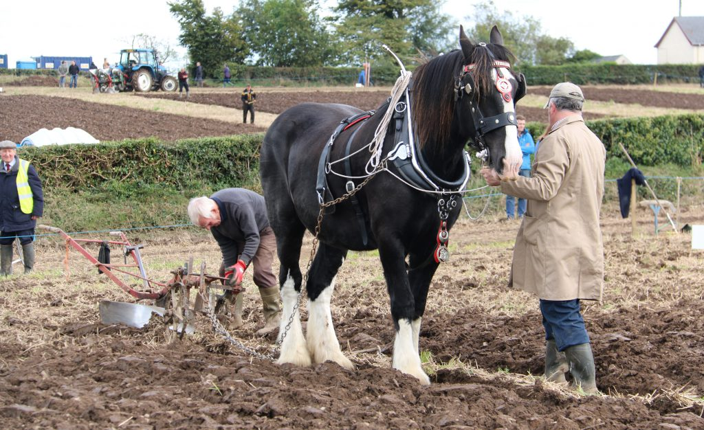 Horse-drawn ploughing in Northern Ireland