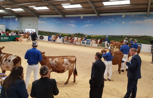 Ulster Ayrshire Cattle Club celebrates a Northern Ireland winner at the All-Britain All-Breeds Calf Show