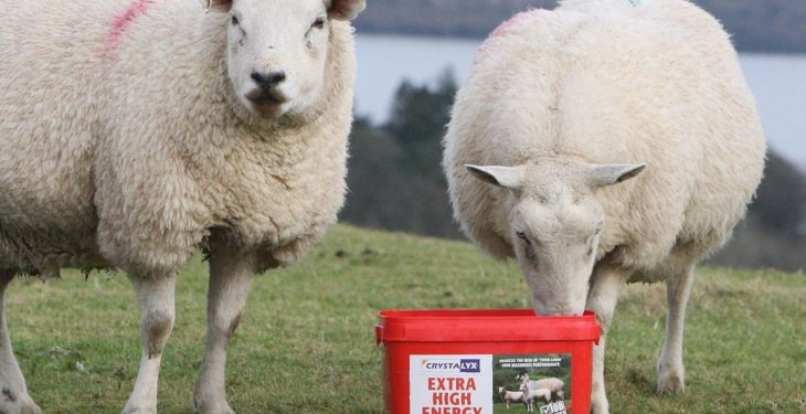 Don't ignore the mid-pregnancy nutrition of your ewes
