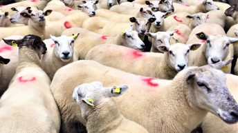 Are your ewes ready for breeding?