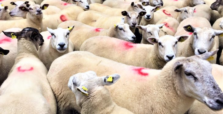 Iceberg diseases: Viral 'lung cancer' found in Irish sheep flocks