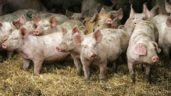 Over 34,500 pigs culled in China in the past week due to ASF outbreaks