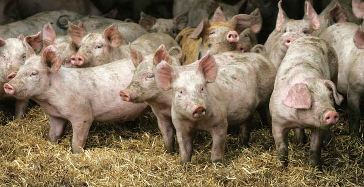 Group of activists target Co. Westmeath pig farm