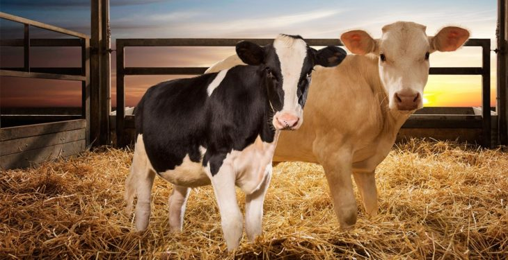 Farm-O-San Pulmosure facilitates breathing in calves