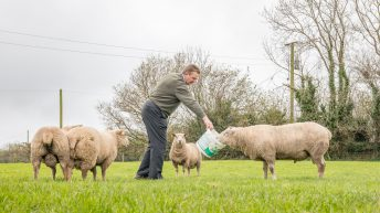 Sheep focus: Over two decades of Charollais breeding in the heart of dairy country