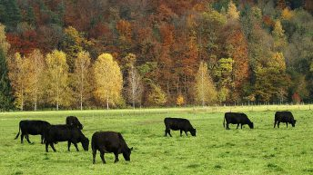 1,000 pedigree Angus heifers wanted for export