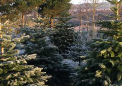 Real Irish Christmas trees: Do you know what tree you're buying?